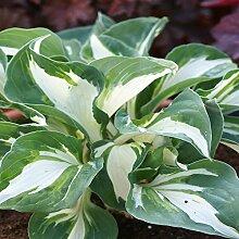 Funkie Vulcan - 1 pflanze