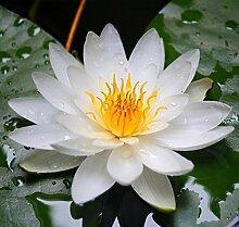 futabaâ ® Seerose Nymphaea Mehrjährige Pflanze Aquatic Kräuter Mischung Farbe 10Samen