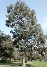 Future Exotics Eucalyptus Perriniana Eukalyptus Pflanze winterhar
