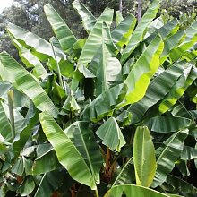 Future Exotics Musa Raja Puri seltene winterharte Fruchtbanane Pflanze ca. 35 - 40 cm