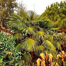 Future Exotics Trachycarpus Fortunei winterharte