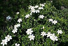 Gardenia jasminoides Gardenie Jasmin weiße duftende Blüten tolle Pflanze 20cm