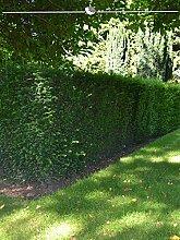 Gardline Gemeine Eibe Taxus baccata 100-120 cm,