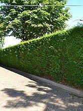 Gardline Gemeine Eibe Taxus baccata 120-140 cm,