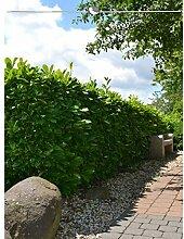 Gardline Großblättriger Kirschlorbeer Prunus