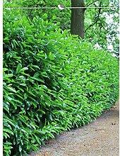 Gardline Kirschlorbeer Lorbeerkirsche Prunus