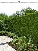 Gardline Lebensbaum Thuja Brabant 120-140 cm, 150x