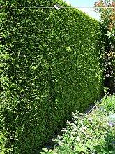 Gardline Lebensbaum Thuja Brabant 180-200 cm, 22x
