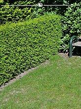 Gardline Lebensbaum Thuja Brabant 60-80 cm, 14x