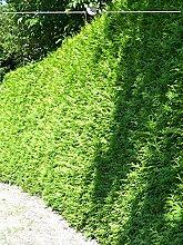 Gardline Lebensbaum Thuja Brabant 80-100 cm, 12x