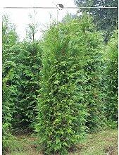 Gardline Lebensbaum Thuja plicata Atrovirens