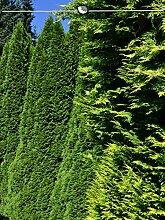Gardline Lebensbaum Thuja Smaragd 100-120 cm, 100x