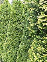 Gardline Lebensbaum Thuja Smaragd 120-140 cm, 12x