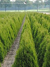 Gardline Lebensbaum Thuja Smaragd 125-150 cm, 125x