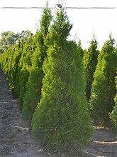 Gardline Lebensbaum Thuja Smaragd 140-160 cm, 28x