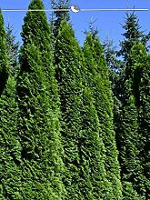 Gardline Lebensbaum Thuja Smaragd 60-80 cm, 20x