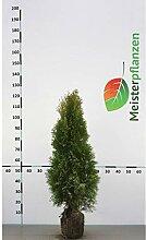 Gardline Lebensbaum Thuja Smaragd 80-100 cm, 80x