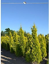 Gardline Lebensbaum Thuja Yellow Ribbon 80-100 cm,