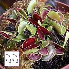 Garretlin Seeds Saatgut Dionaea Giant Clip