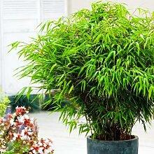 Garten-Bambus Rufa, im ca. 18 cm-Topf