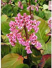 Garten-Bergenie 'Herbstblüte', Bergenia
