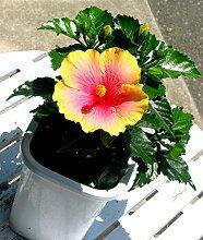 Garten-Bonsai Blumen. Blending bunten Hibiskusblumensamen -100PC / package. Große Blütenpflanzen
