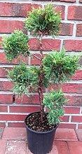Garten - Bonsai, Wacholder, grüngelb, Höhe:
