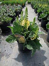 Garten-Königskerze Dark Eyes Staude gelb blühend Solitär-Staude Sonne Verbascum x cultorum im 3 Liter Topf 1 Pflanze