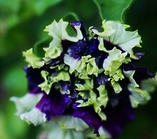 Garten-Petunie-Blumenblätter Blumensamen für Garten-Petunie semillas de Petunien, 100 Samen / bag