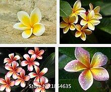 Garten-Pflanze 100PCS / BAG Plumeria (Frangipani, hawaiische Lei-Blume) Samen, seltene exotische Blumensamen Bonsais-Samen