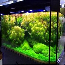 Garten Pflanze 500pcs / bag aquatische coralline Gras Samen, seltenes Wasser, Dekoration Aquarium Dekoration, Bonsai Samen
