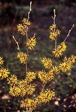 Garten Pflanze Zaubernuss, gelb