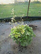 Garten-Purpurglöckchen Apple Crisp Bodendecker weiß blühend Staude Sonne-Halbschatten Heuchera x hybrida im 3 Liter Topf 1 Pflanze