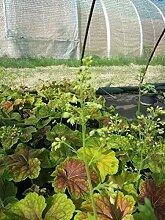 Garten-Purpurglöckchen Delta Dawn Bodendecker weiß blühend Beetstaude Halbschatten-Schatten Heuchera x hybrida im 3 Liter Topf 1 Pflanze