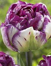 Garten Riesen Zierlauch Allium Giganteum