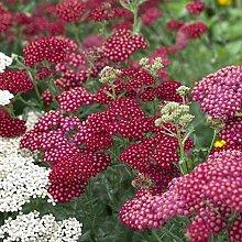 Garten-Schaf-Garbe Achillea millefolium 'Red