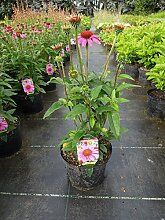 Garten-Scheinsonnenhut Amazing Dream Staude rosa blühend Beetstaude Sonne Echinacea purpurea im 3 Liter Topf 1 Pflanze