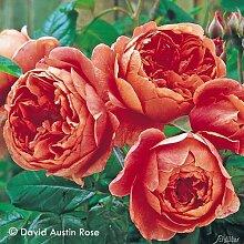 Garten-Schlüter David Austin-Rose 'Summer