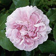 Garten-Schlüter Historische Rose 'Jacques