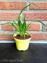 Garten Schnitt Knoblauch Allium hybride Kräuter Pflanze 4stk.
