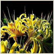 Gartenbepflanzung,Magische Zierpflanze,Lycoris