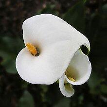 Gartenblumen,Anpassungsfähig,Calla Lilie