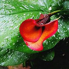 Gartenblumen,Perfekte Schnittblumen,Calla Lilie