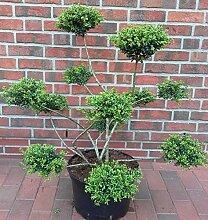 Gartenbonsai, Höhe: 110-120 cm, Ilex crenata