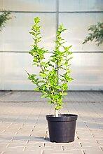Garteneibisch Woodbridge, 40-60 cm, Zierstrauch