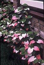 GartenMeister Zier Kiwi, 3 Pflanzen