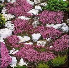 Gartensamen SummerRio- 100 Bodendecker
