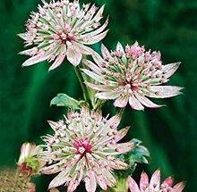 Gartensamen SummerRio- Selten große Sterndolde