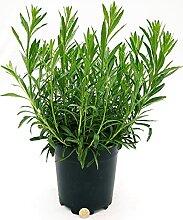 Gaura Bianca Vase 17 cm, echte Pflanze