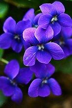Geben Sie Schiff 20 Graines De Violet Samen schöne Pflanze Bonsai Blumen-Samen-tropische Blumen-Samen Staude Matthiola Incana